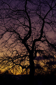 Walnut tree silhouette